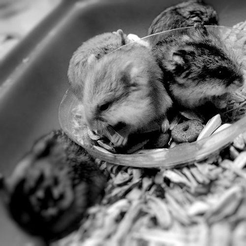 Red eye. Black eye. Morning Morningactivity POTD Thursday breakfast seeds nuts hamster hamsters babyhamsters babyanimals pet fluffy blackandwhite blackandwhitephotography colorless world_bnw bw_awards insta_bw bnw_planet ae_bnw bnw bnw_society bwstyles_gf bnw_diamond bnw_life rsa_bnw