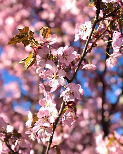 Cherry blossom Naturephotography IPhoneography Iphonexphotography IPhoneX Springfeeling  Spring Tree Cherryblossom Plant Flower Tree Fragility Blossom Pink Color Beauty In Nature Springtime Sunlight Nature Close-up EyeEmNewHere