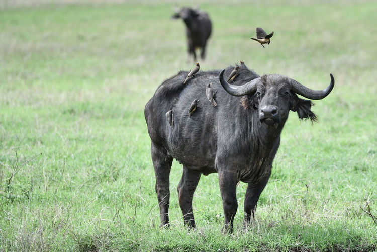 Buffalo with birds on grassy land