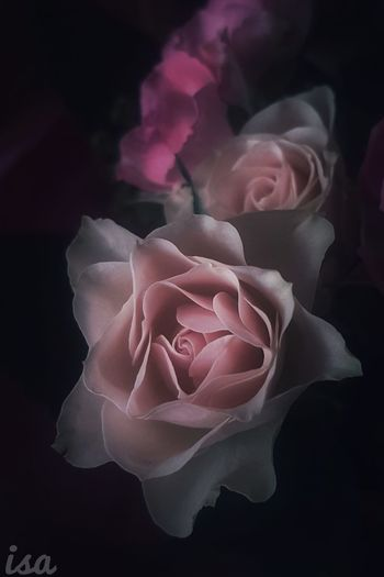Pink Color Abstract Fragility No People Close-up Black Background Indoors  Flower Flower Head Day Macro Picoftheday Fleur ♡ Douceur Beauty In Nature Macro Photography Nature Rose🌹 Pétale Plant Douceurs Ana.belle.isa