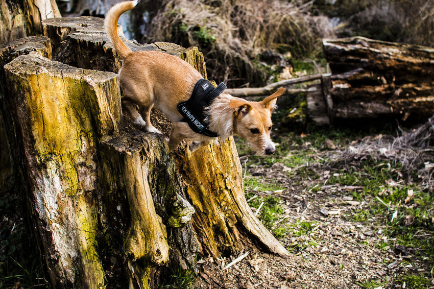 Chiwawa Pincher Dog Forest Jump Berlin Grunewald Baumstumpf The Week On Eyem Beauty In Nature Nature Animal Themes Focused Ready To Jump