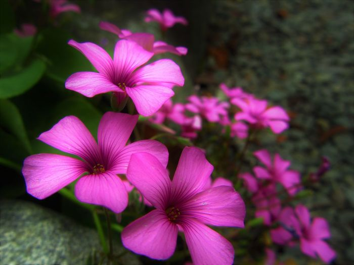 No People Outdoors Pink Color Plant Flower Nature Purple Growth Petal Flower Head