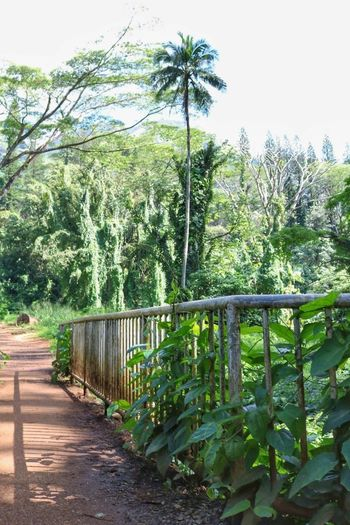 Bridge to the Jungle Beauty In Nature Day Growth Nature No People Outdoors Palm Tree Plant Sky Tree