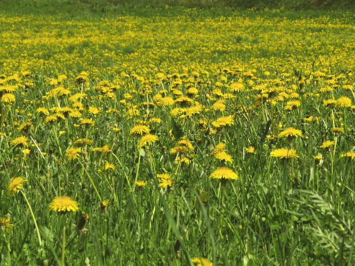 Yellow And Green Abundance Beauty In Nature Dandelion Environment Field Flower Flowerbed Flowering Plant Land Landscape Nature No People Outdoors Rural Scene Scenics - Nature Springtime Yellow