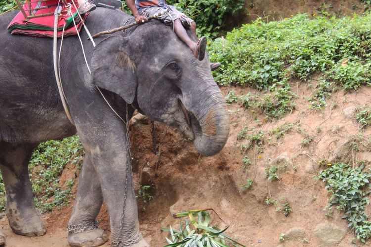 Slave for tourism . Elefant Chain Slave Domestic Animals Herbivorous Feeding  Miles Away Resist Live For The Story Nakkerd Hills Phuket,Thailand Focus On The Story