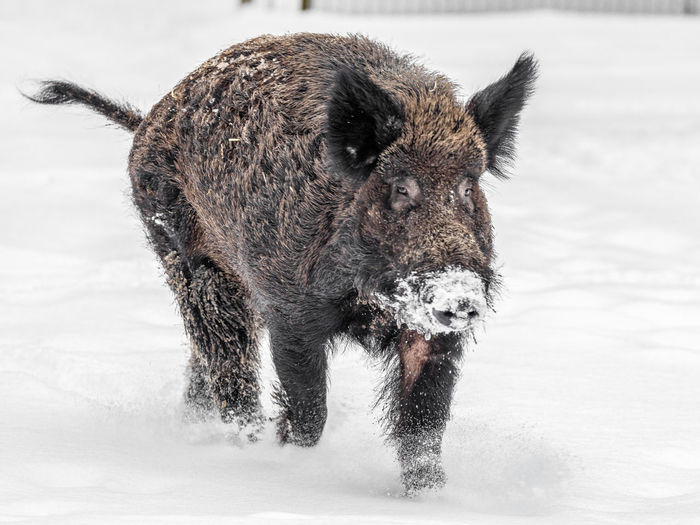Close-up of a wild boar walking on snow