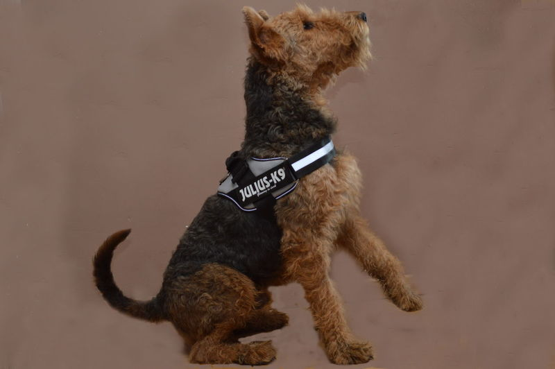 Airedale Airedaleterrier Animal Animal Themes Beautiful Brown Dog Domestic Animals K9 Dogs K9life No People One Animal Pets Sitting