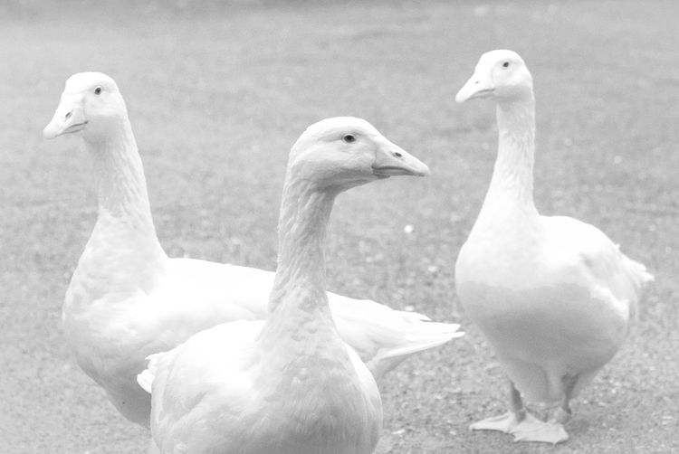 Close-up of three geese