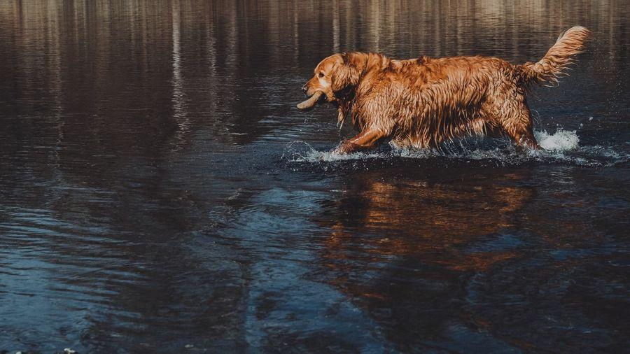 One Animal Mammal Animal Themes Domestic Animals Brown Animal Water Pets Dog No People Nature Outdoors Day Golden Retriever EyeEm Best Shots Fujifilm_xseries