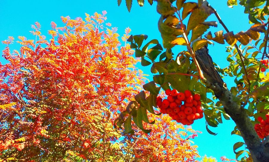 Branch of a rowan on a background of clear blue sky and fire tree. Autumn Autumn Colors Autumn Leaves Autumn Collection Beautiful Autumn Autumn Trees Autumn Sky Fire Tree Rowan Rowan Tree Rowan Branch Yellow Orange Red Leaf Leaves Deep Blue Sky