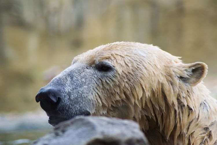 Animal Wildlife Animal Animal Themes One Animal Animals In The Wild Mammal Bear Vertebrate Polar Bear Day No People Animal Body Part Close-up Focus On Foreground Animal Head  Nature Outdoors Water Looking Profile View