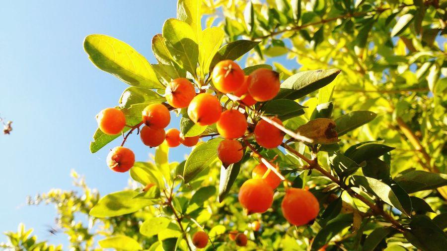 Nature Orange Color Pingo De Ouro Floralperfection Fruit Plant