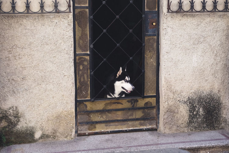 Dog Looking Away Through Closed Door Of House