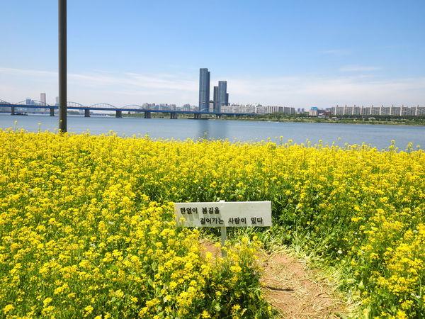 Flower M.zuiko 12-40mm F2.8 Pro M.zuiko 7-14 Pro Olympus OM-D EM-1 Seoul Sky 유채꽃