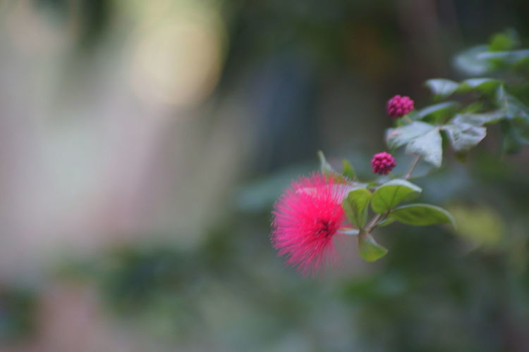 紅いたわしの様な花