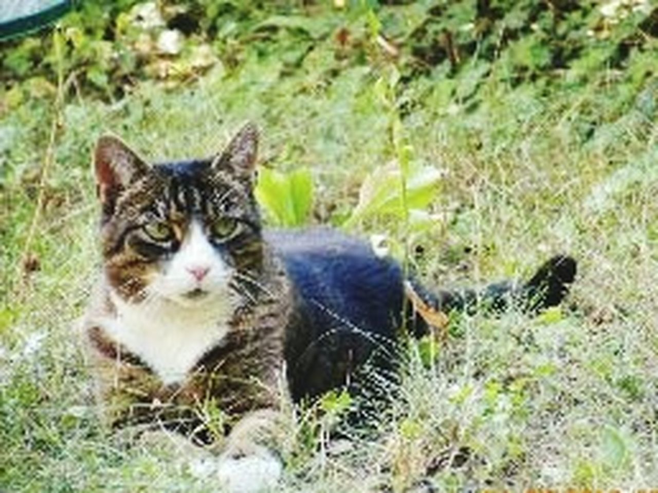 domestic cat, pets, domestic animals, one animal, animal themes, feline, looking at camera, grass, mammal, portrait, outdoors, day, no people, sitting, full length