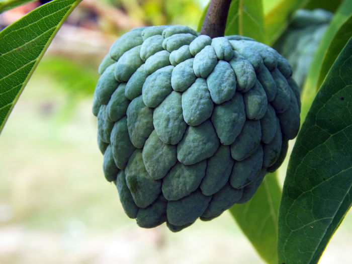 Close-Up Of Custard Apple