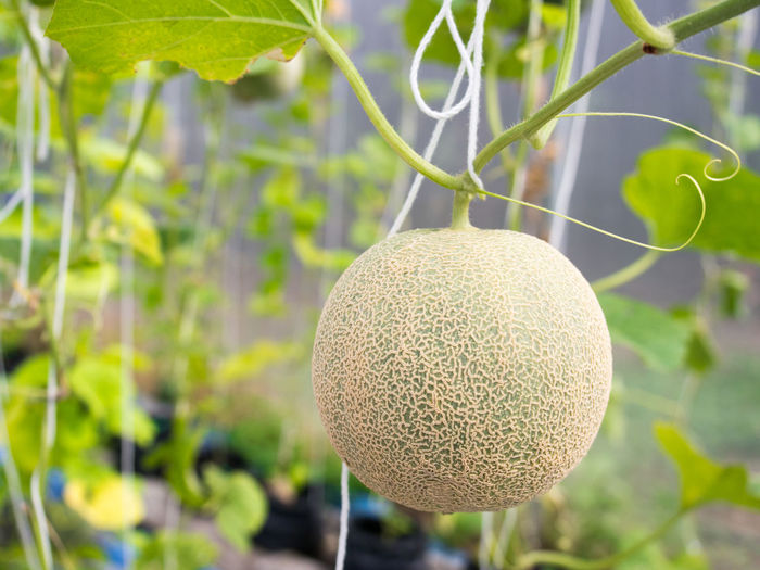 Close-up of melon hanging on tree