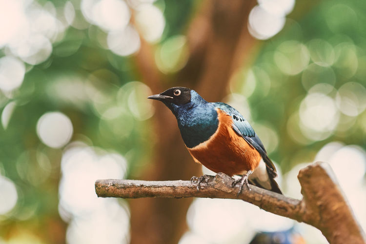 Superb Starling Jurong Bird Park Vertebrate Perching Bird Animal Themes One Animal Animal Wildlife Animal Animals In The Wild Tree Branch Focus On Foreground Plant Day No People Nature Close-up Outdoors Beauty In Nature Selective Focus Full Length
