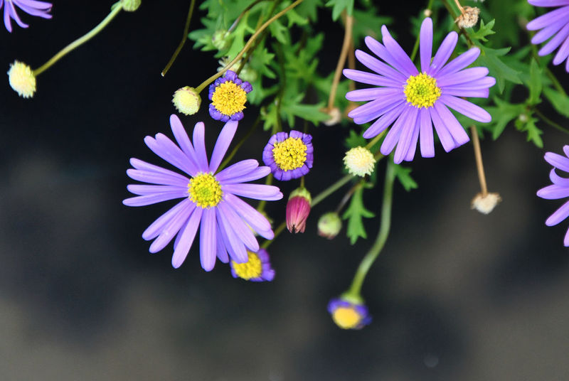 A close up photography of purple aster flowers Garden Flowers Summer Flowers Aster Aster Flowers Beauty In Nature Blooming Close-up Clouse-up Day Flower Flower Head Flowers Fragility Freshness Garden Photography Growth Nature No People Outdoors Petal Plant Plants And Flowers Purple Purple Flowers Summer Plants