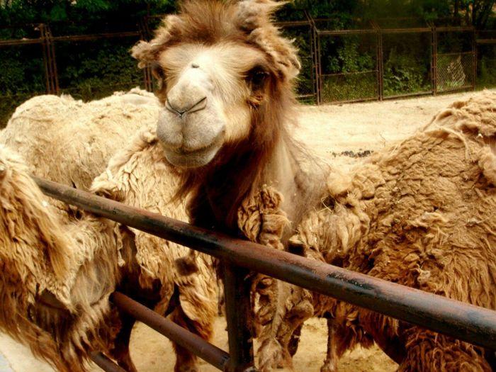 Hello ❤ Hello World ✌ Cute Animals Camel Zoo Iloveanimals Animals Inthezoo