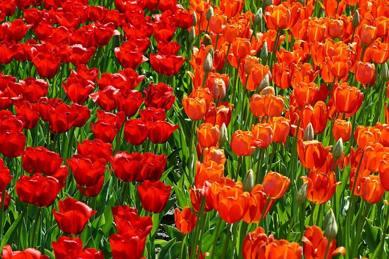 Close-up of orange and red poppy flowers blooming in field