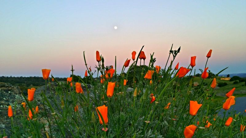 Moonrise last night. Moon Rising California Poppies Eyem Nature Lovers  Nature_ Collection