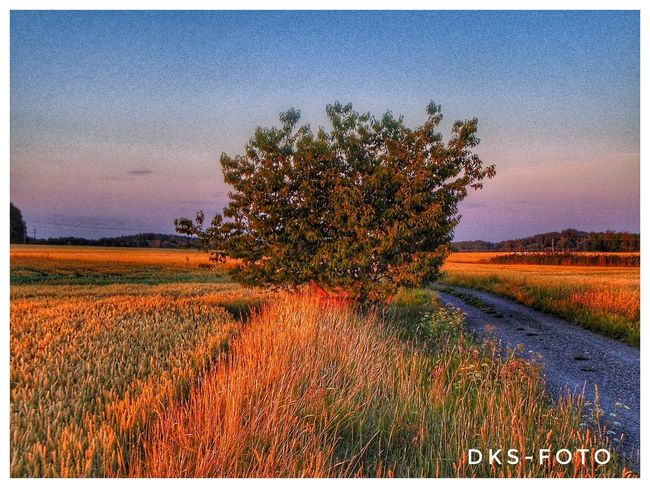 Sweden The True Story The Great Outdoors - 2018 EyeEm Awards Flower Rural Scene Agriculture Sunset Field Cultivated Sky Landscape Plant