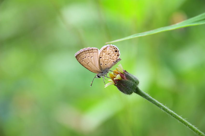 Insect Animals In The Wild Focus On Foreground No People Animal Wildlife Nature Animal Themes Close-up Butterfly - Insect Freshness Day Outdoors Butterfly Lesser Grass Blue Butterfly Macro Macro Photography Freshness Beauty In Nature Nature One Animal