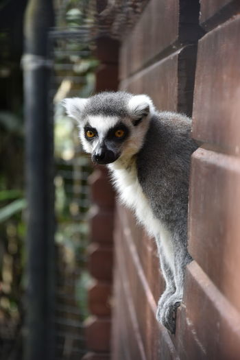Animal Themes Animal Wildlife Animals In The Wild Close-up Day Lemur Mammal Nature No People Nosy Animals One Animal Outdoors Portrait