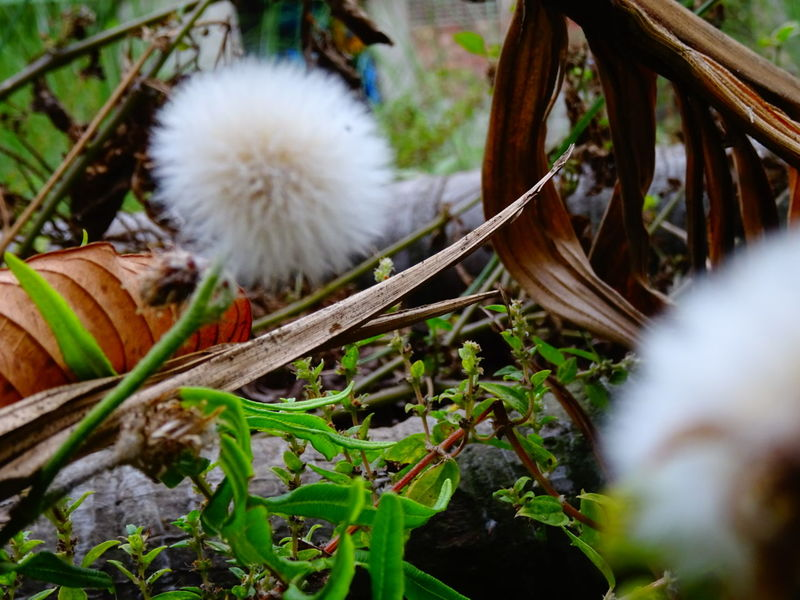 Showing Imperfection Dandelions Garden Grass Leaves🌿 Ground Wrongfocus Focus On Background Unsteady Natural Beauty