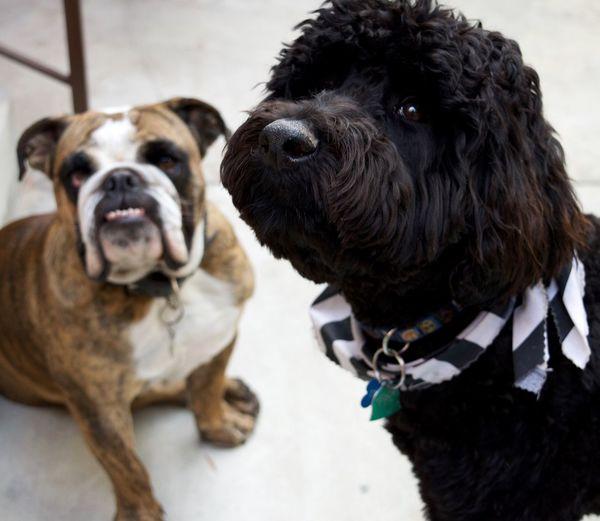 Best friend Friendship Dog Love Dogs Goldendoodles Bulldog Bulldog Poodle