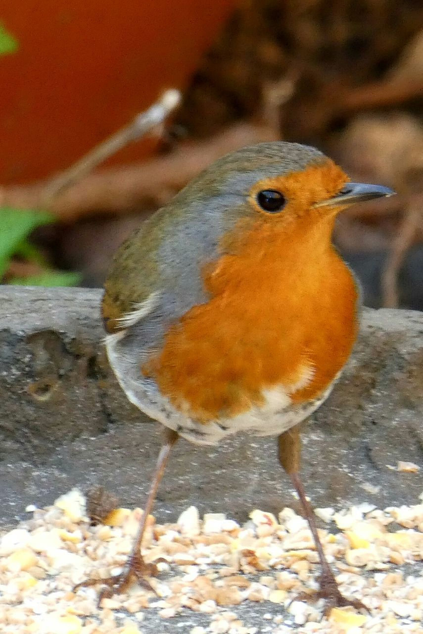 bird, one animal, animals in the wild, animal themes, nature, animal wildlife, no people, close-up, focus on foreground, day, outdoors, perching, beauty in nature, robin