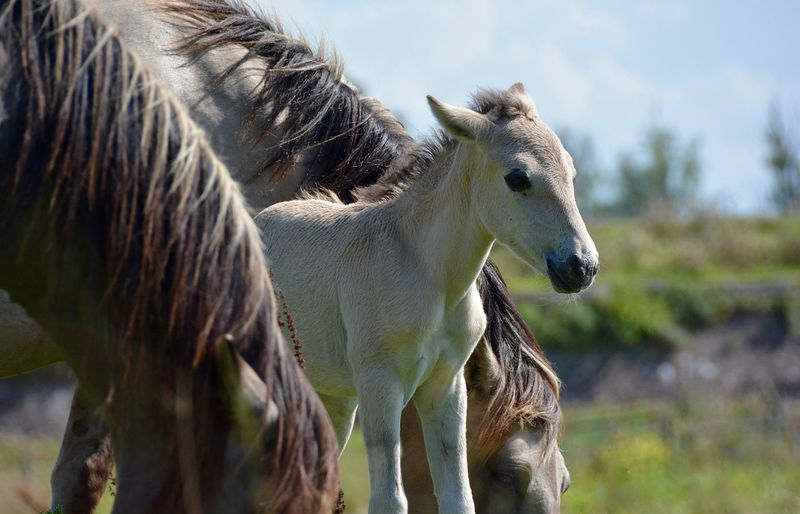 This late in the year New Life Animal Photography Animals In The Wild Nature Photography Family Matters Safest Place between Mom And Dad Horse Photography  Horse Konik Konikhorse