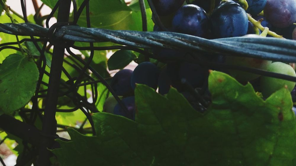 Grapes🍇 Nature Beauty In Nature Plant 🍇 🍷 ❤️ 🍇grapefruit Naturephotography Natureday By.Dalila 💕