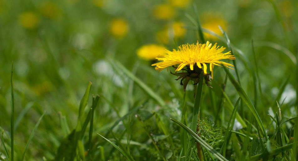 Close-up of yellow flower blooming on field