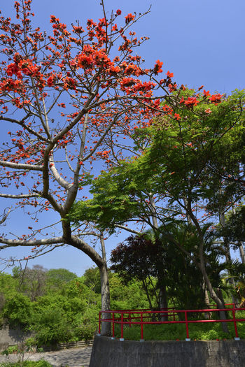 Kapok tree blossoming red orange flower Cotton Tree Rural Tree Architecture Beauty In Nature Branch Built Structure Clear Sky Day Flower Flowering Plant Freshness Green Color Growth Kapok Low Angle View Nature No People Outdoors Park Plant Sky Springtime Tranquility Tree