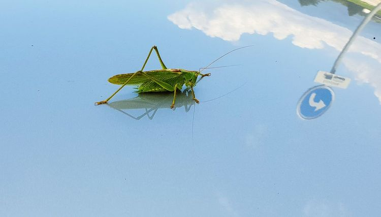 Insect Sky Close-up Grasshopper