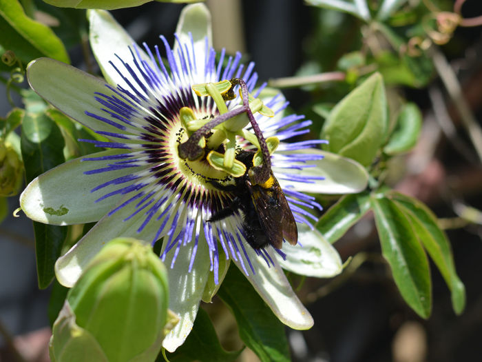 Animal Themes Beauty In Nature Bee Blooming Close-up Day Flower Flower Head Fragility Freshness Growth Insect Nature No People One Animal Outdoors Passion Flower Passion Flowers Petal Plant Pollen