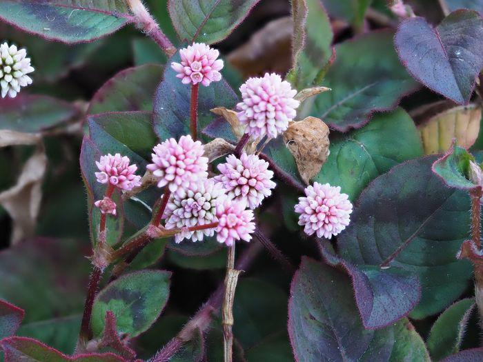 Flower Plant Flower Head Outdoors ポリゴナム ヒメツルソバ Persicaria Capitata pink