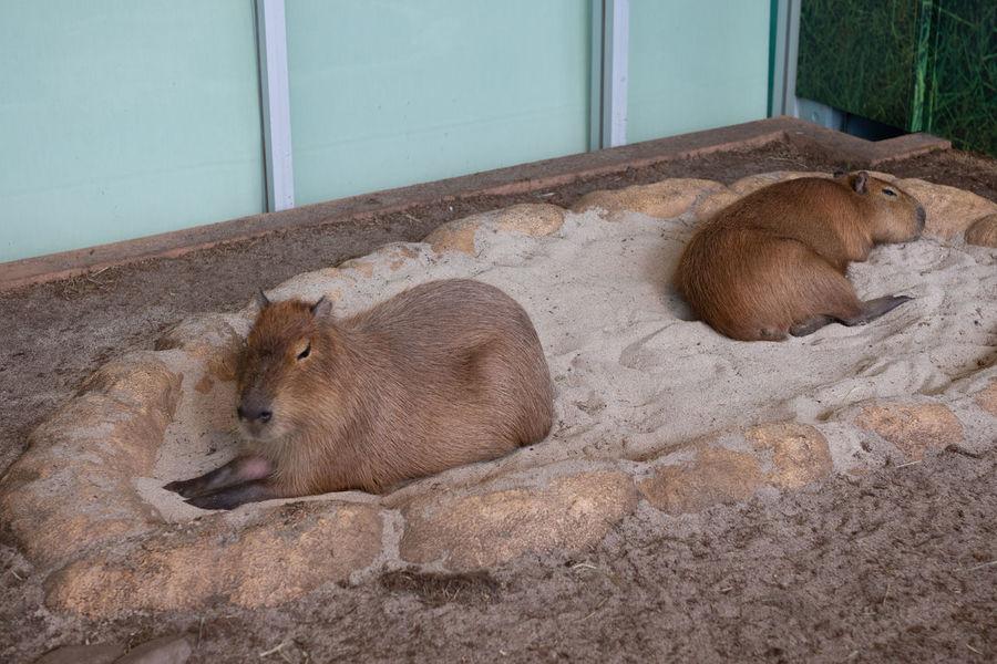 Capibara Japan Japan Photography Zoo Animal Animal Themes Aquarium Countryside Day Mammal No People Relaxation