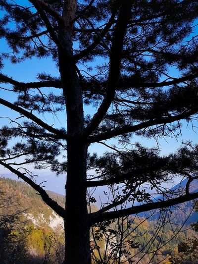 Under A Glorious Pine Tree Day Growth Sky Nature Branch Outdoors Forest Tree Trunk Beauty In Nature Hiking Mountains Beauty In Nature