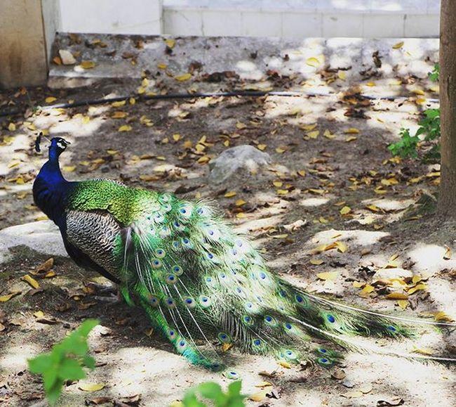 Beatiful Colorful Peacock Pretty Bird Beautiful Animal Beautiful Peacock Santa Barbara SPAIN