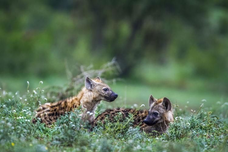 Hyenas looking away while sitting on land