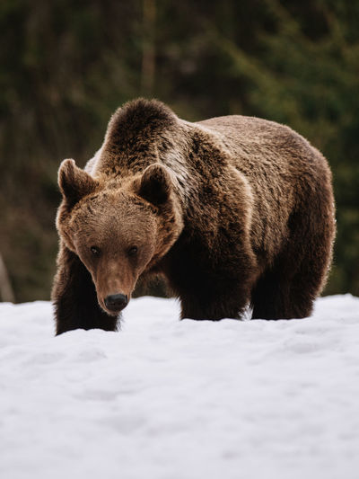 Animal Animal Themes Animal Wildlife Mammal Animals In The Wild One Animal Bear Winter Nature Snow No People Cold Temperature Vertebrate Day Outdoors Walking Land Hunting Herbivorous Bear Brown Bear Looking At Camera Wildlife Wildlife & Nature Animals In The Wild