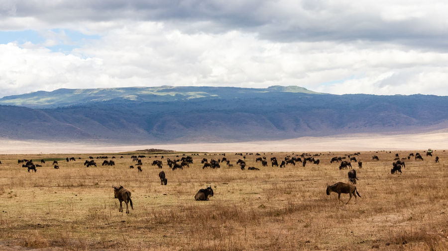 An exciting wildlife scene with hundreds of wildebeest