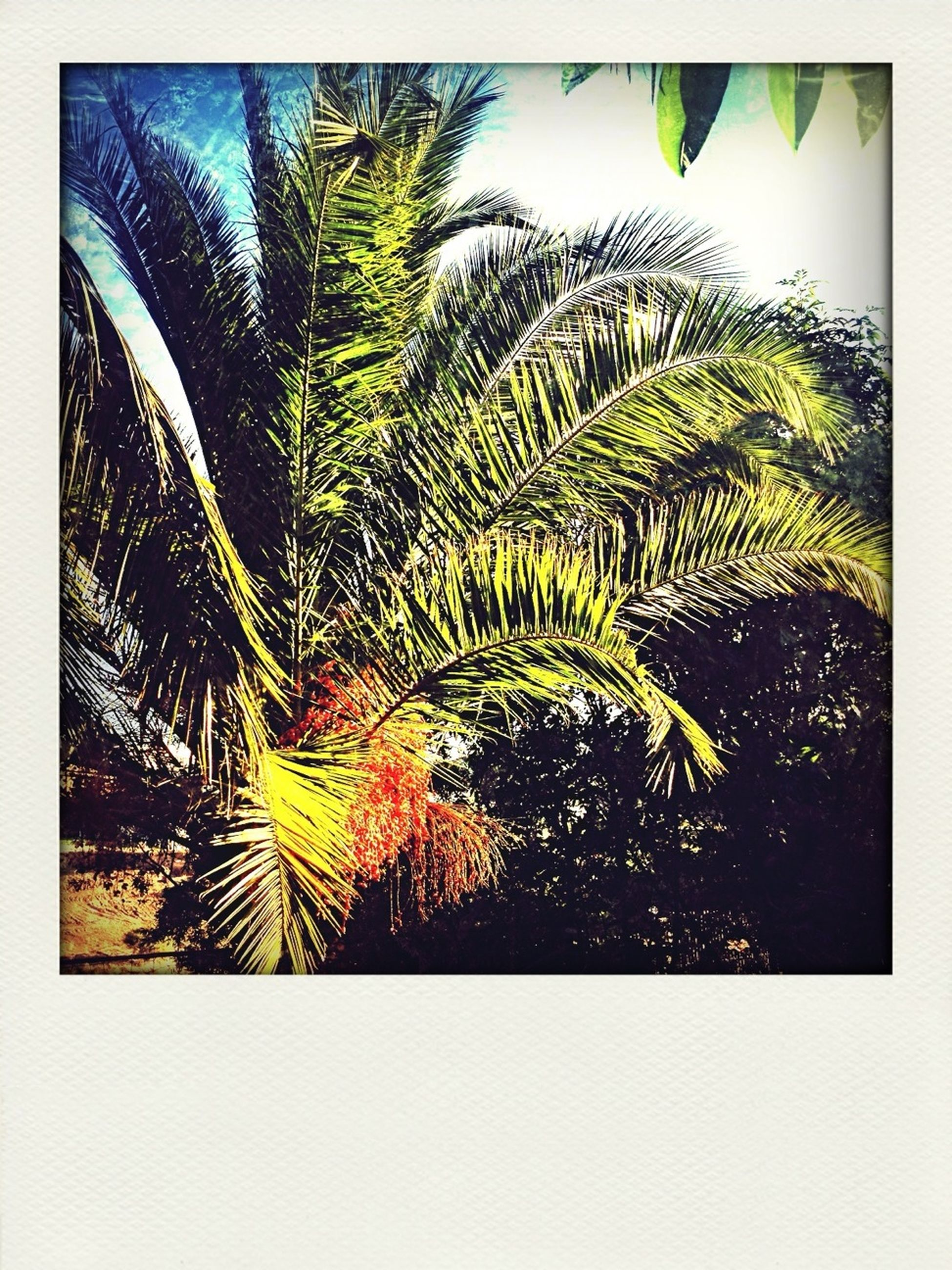transfer print, auto post production filter, tree, growth, palm tree, leaf, nature, low angle view, green color, beauty in nature, tranquility, sky, plant, day, outdoors, branch, no people, sunlight, clear sky, close-up