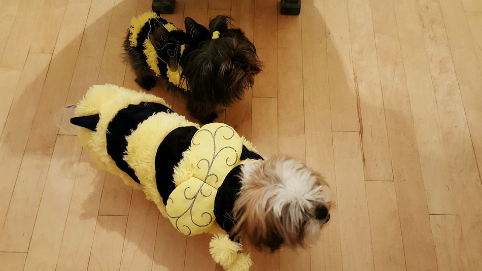 How You Celebrate Holidays Dogstagram Dogs Dogs Of EyeEm Dogslife Bumble Bee Bee Dog Costumes Dog Costume Yellow Black Costume Costumes