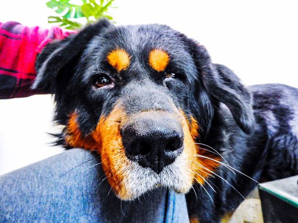 Lazy Pet Pets Animal Themes One Animal Domestic Animals Dog Mammal Tibetan Mastiff Black Color Close-up No People Nature Day What Who Where