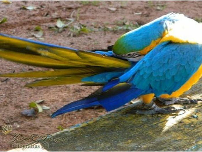 Arara Araraazul Ave Vida Life Nature Naturelovers Natureza 🐦🌳 Blue Bird One Animal Nature Photography Natureza ❤